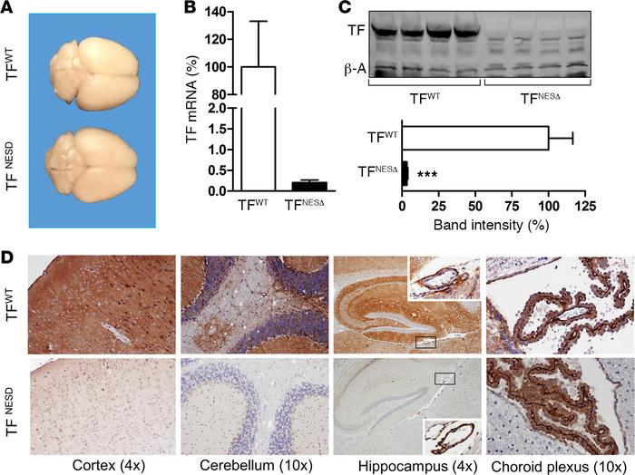 Reduced tissue factor (TF) expression in the brain of TFNESΔ mice. (A) B...