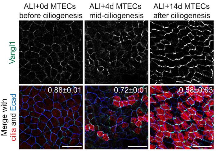 Vangl1 expression and localization evolves during airway epithelial diff...