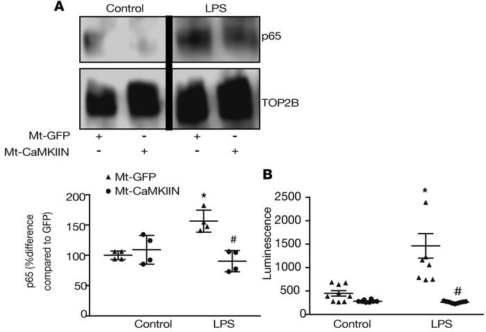 Epithelial cell Mt-CaMKIIN inhibition reduces LPS-mediated NF-κB activat...