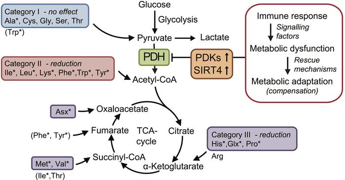 Hypothetic mechanism of ME/CFS linked to amino acid catabolism. Accordin...