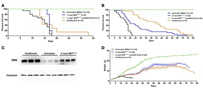 AAV9-PLS3 extends survival in combination with SMN2 splice-switching oli...