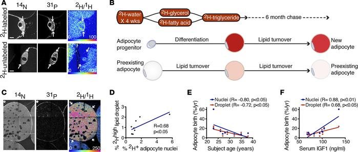 Age-dependent decline in homeostatic adipogenesis in human SAT. (A) 2H-l...