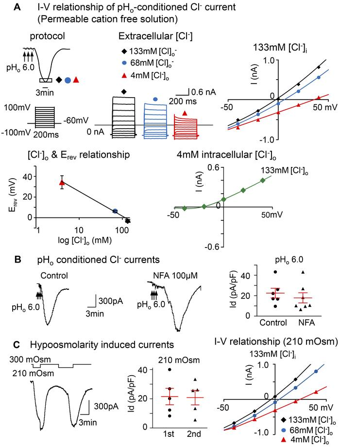 The prolonged pHo-conditioned current is Cl– selective and similar to th...