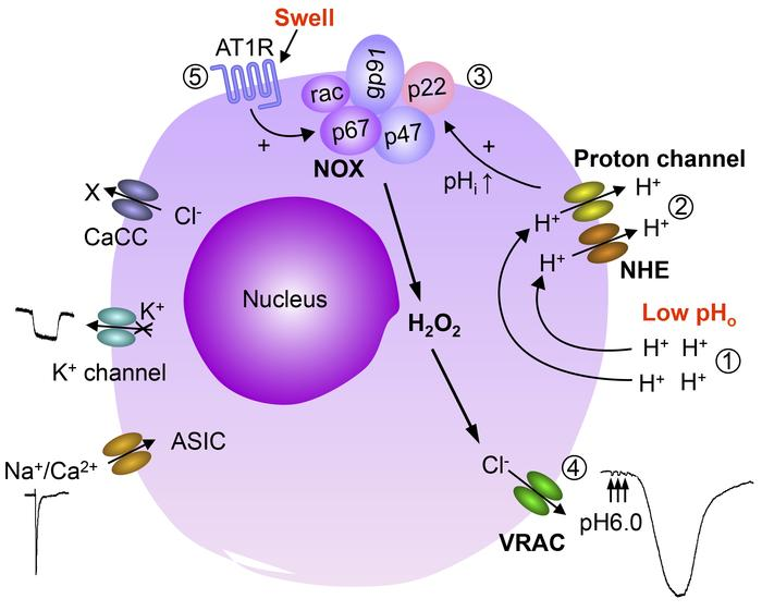 Schematic summary of activation mechanisms of volume-regulated anion cha...