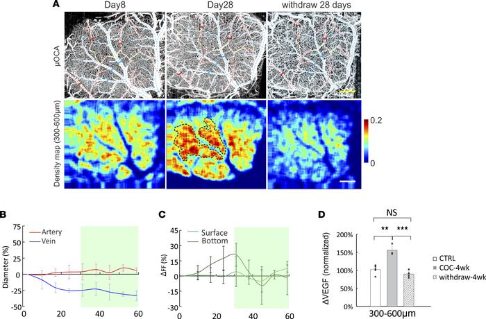 Cocaine elicited vasoconstriction in superficial layers and angiogenesis...