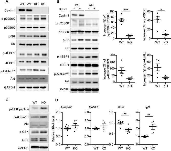 Cavin-1 null mice display constitutively enhanced Akt signaling. (A) Rep...