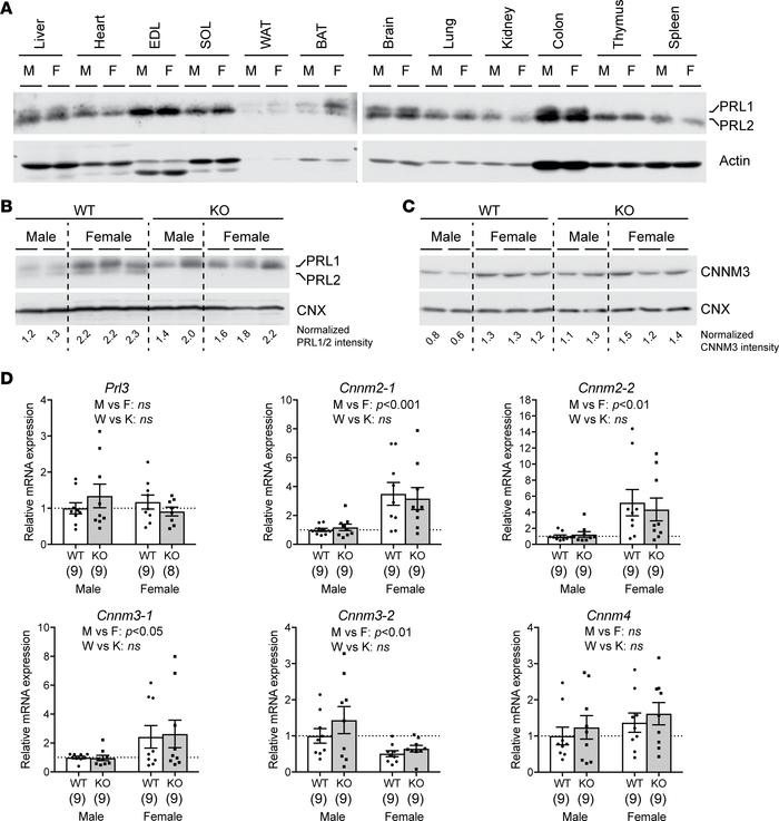Sex-dependent PRL1/2 and CNNM expression in BAT. (A) Tissue distribution...