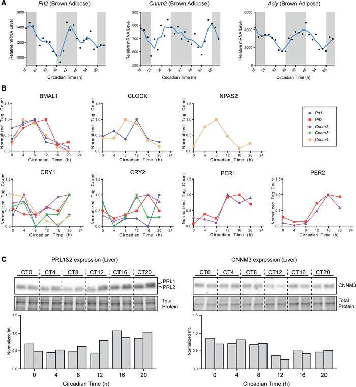 Circadian regulation of PRL and CNNM genes. (A) Relative mRNA levels of ...