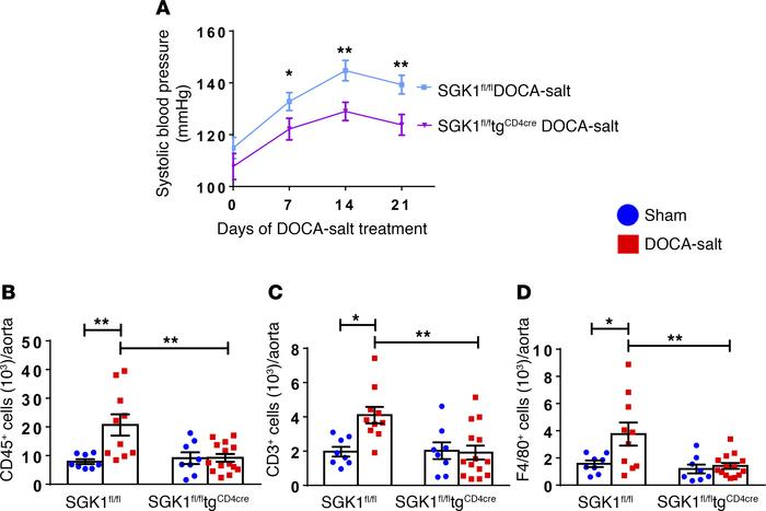 T cell SGK1 deficiency attenuates hypertension and vascular inflammation...