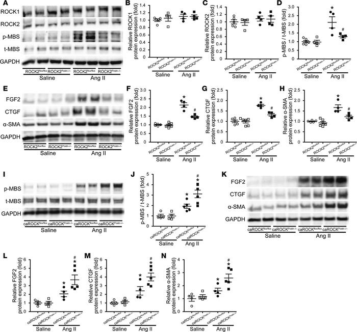 ROCK2 in cardiac fibroblasts is involved in angiotensin II–induced (Ang ...