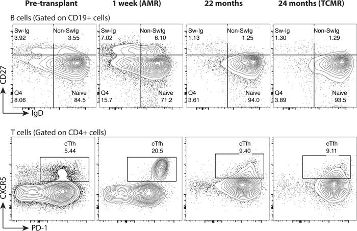 Dynamics of circulating B cells and T follicular helper cells following ...