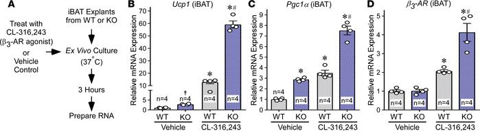 HDAC11 deficiency augments β3-AR–induced target gene expression in BAT e...