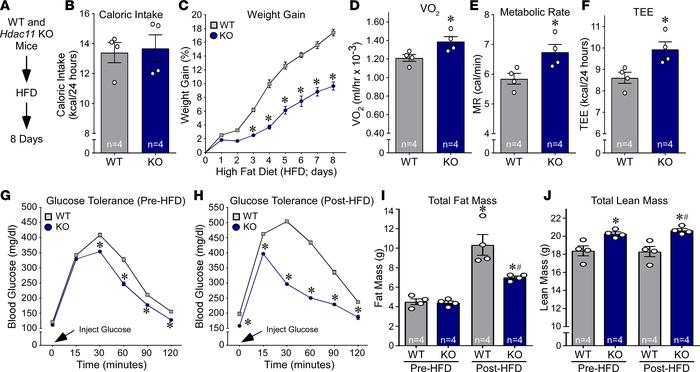 HDAC11 deficiency increases metabolism and glucose tolerance in response...