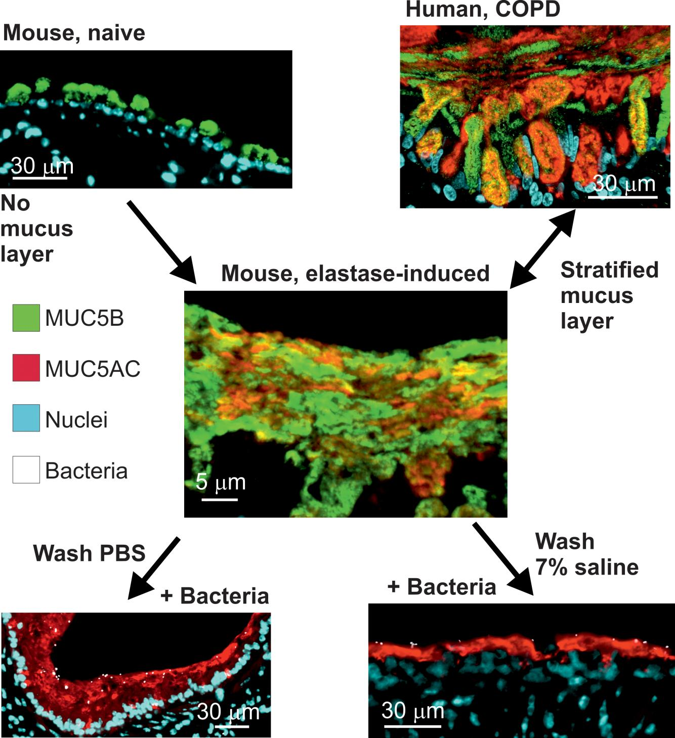 JCI Insight - Attached stratified mucus separates bacteria