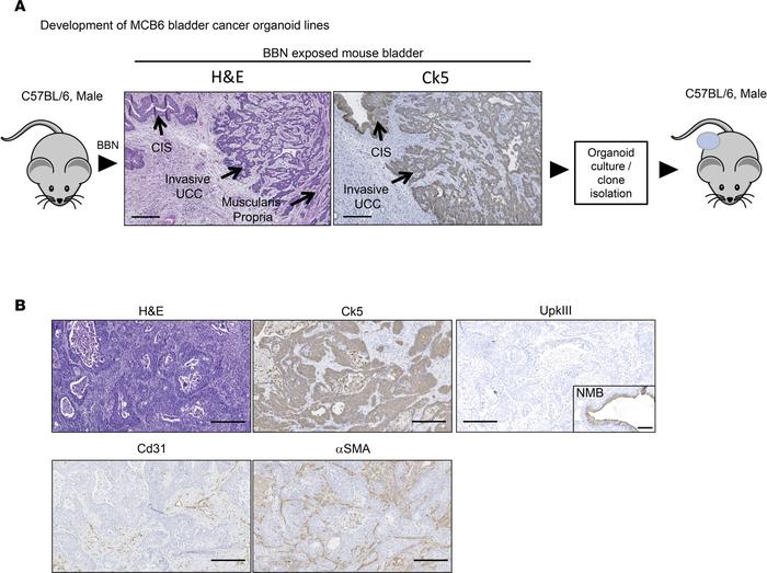 MCB6C is a transplantable organoid model of urothelial carcinoma, with f...