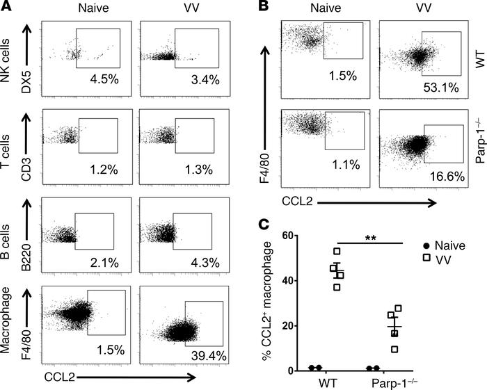 Peritoneal macrophages are the major producer of PARP-1 dependent CCL2. ...