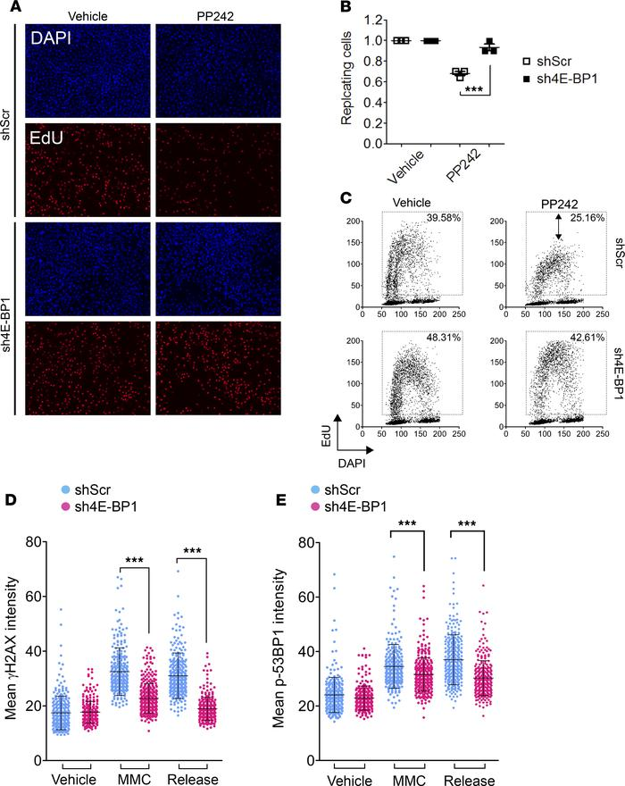 mTOR inhibition and consequent 4E-BP1 activation impedes DNA replication...