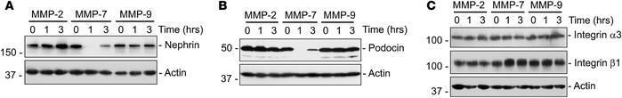 MMP-7 reduces nephrin and podocin levels in isolated glomeruli. (A) Rat ...