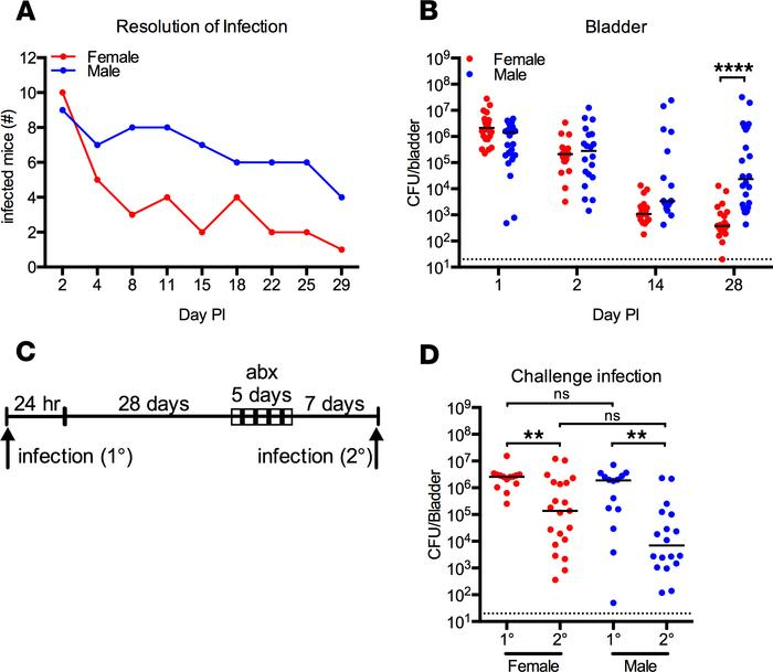 Male mice do not resolve UTI following intravesical instillation. (A and...