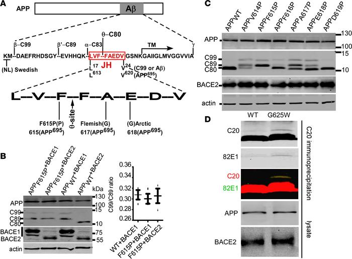 Perturbation of the JH domain by proline causes BACE2-mediated β-cleavag...