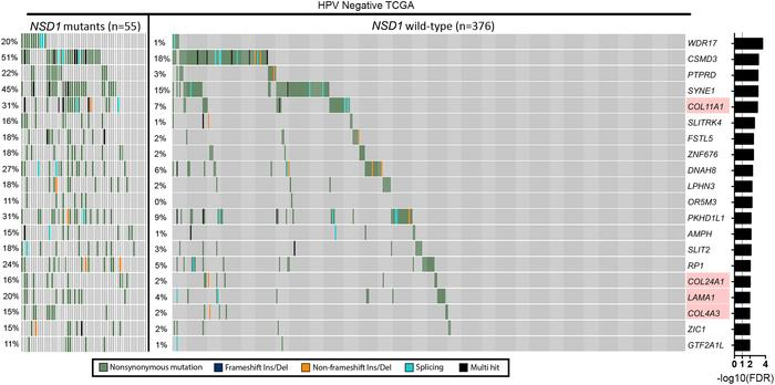 Analysis of somatic SNVs between NSD1-mutant and WT HPV-negative HNSCC t...