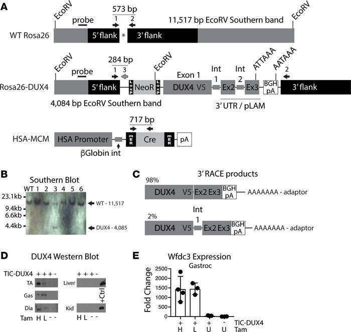 JCI Insight - AAV-mediated follistatin gene therapy improves