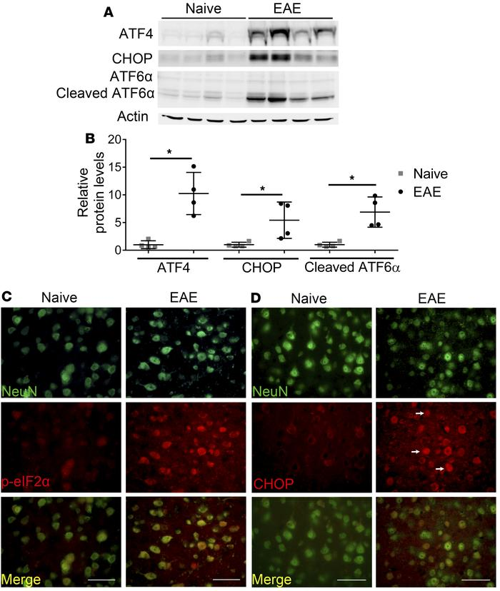 The PERK-mediated ISR was activated in neurons in the MOG-EAE model. (A ...