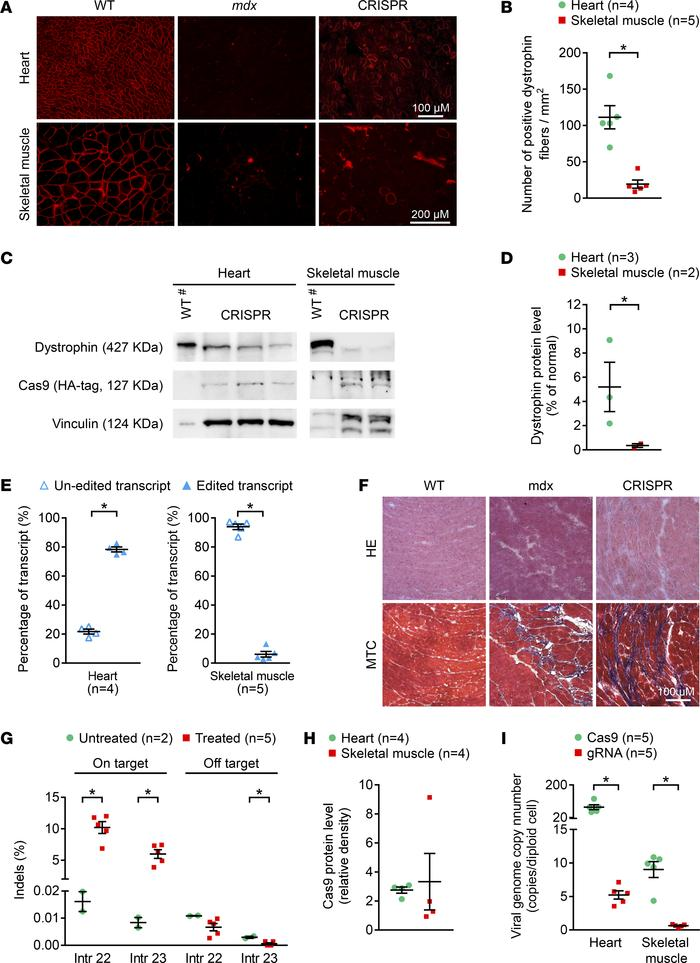 Long-term systemic AAV CRISPR therapy in mdx mice is associated with dis...