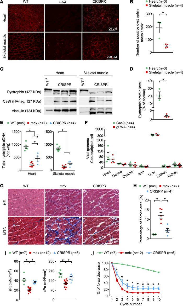 Systemic AAV CRISPR therapy resulted in sustained skeletal muscle functi...