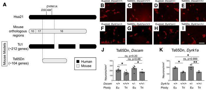 Normalizing Dscam or Dyrk1a gene copy number in Ts65Dn mice does not cor...