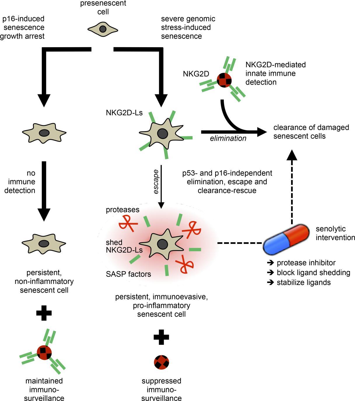 JCI Insight - Targetable mechanisms driving immunoevasion of