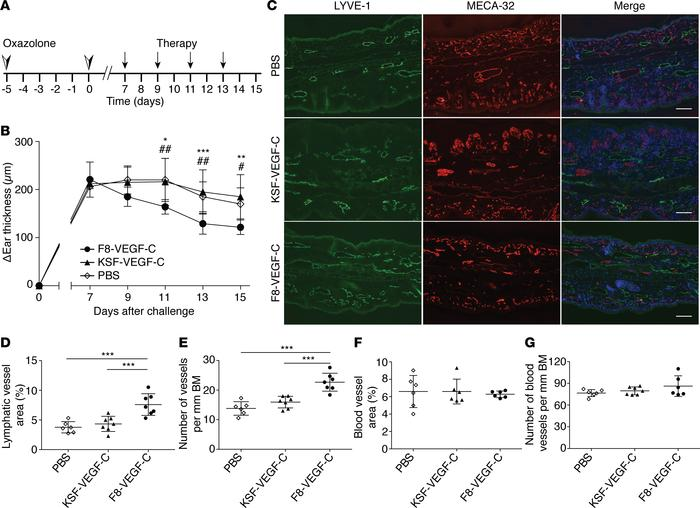 F8-VEGF-C but not KSF-VEGF-C causes lymphatic expansion and alleviates e...