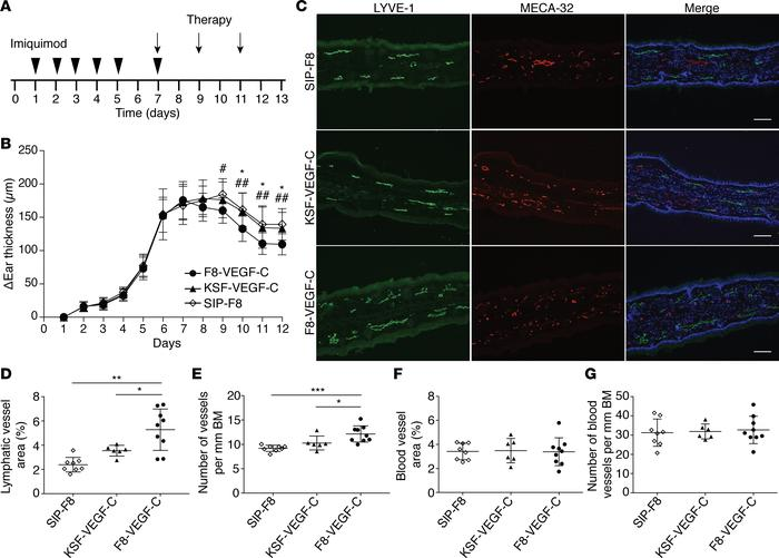 F8-VEGF-C but not KSF-VEGF-C causes lymphatic expansion and accelerates ...