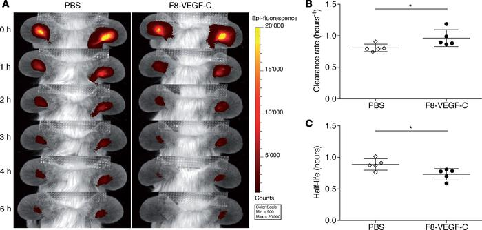 F8-VEGF-C improves lymphatic clearance function. (A) In vivo imaging sys...
