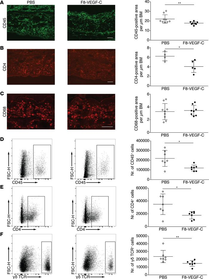 F8-VEGF-C reduces inflammatory cell infiltration in inflamed ears. (A) I...