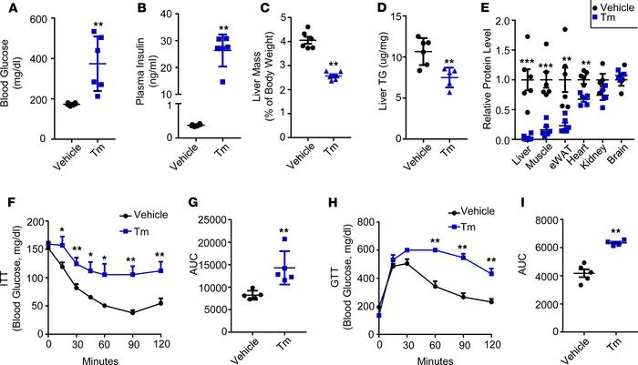 Tm treatment induced diabetic phenotype in iIR-KO mice. (A) Blood glucos...