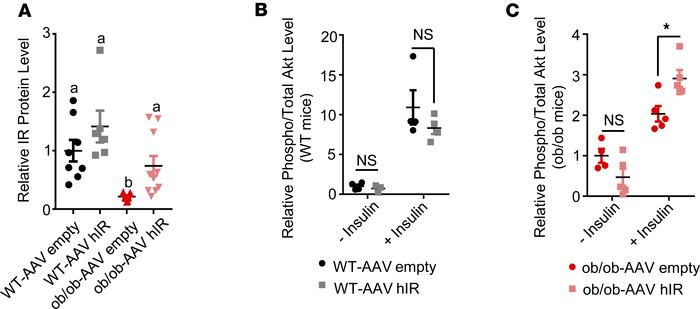 Injection of AAV-hIR increased IR protein and insulin-stimulated Akt pho...