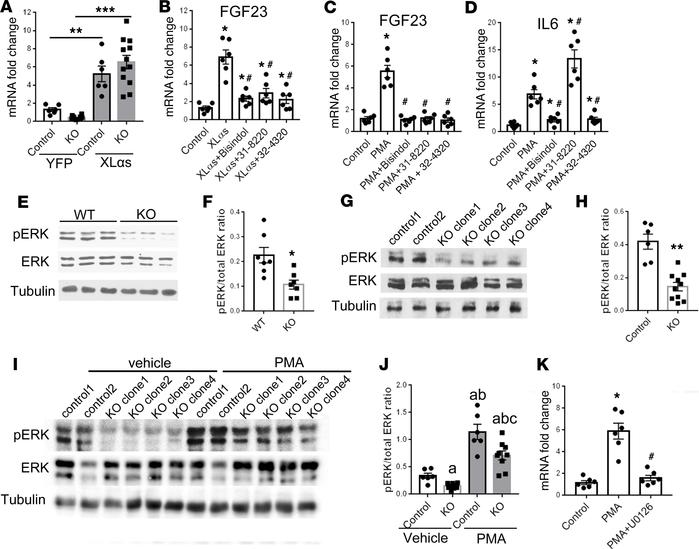 PKC activation mediates FGF23 production by promoting MAPK signaling. (A...