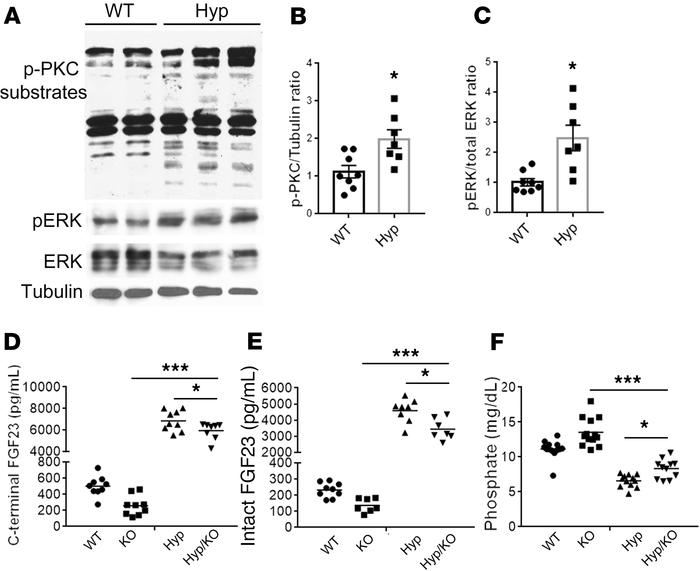 Elevated PKC activity contributes to the elevated FGF23 in Hyp mice. (A)...