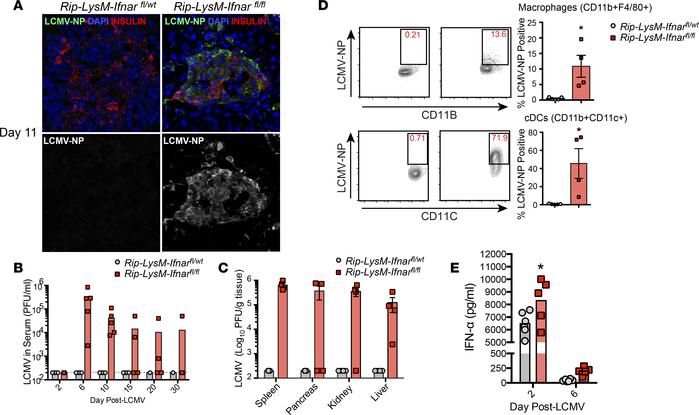 Loss of IFNAR signaling in macrophages results in systemic spread of LCM...