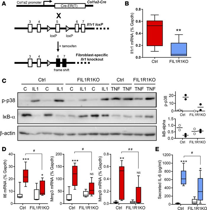 Effect of tamoxifen-induced fibroblast-specific IL-1R1 knockdown on card...