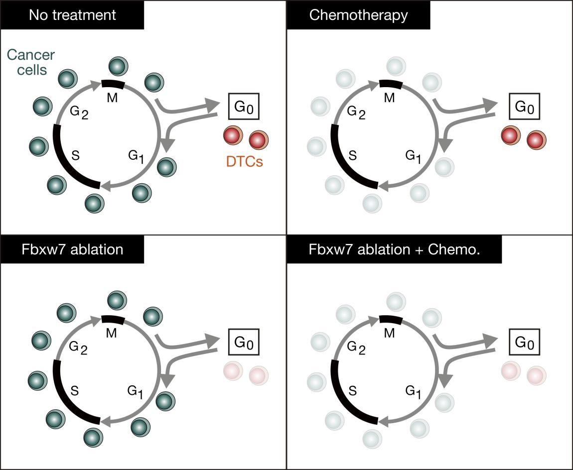 JCI Insight - Prevention of cancer dormancy by Fbxw7 ablation