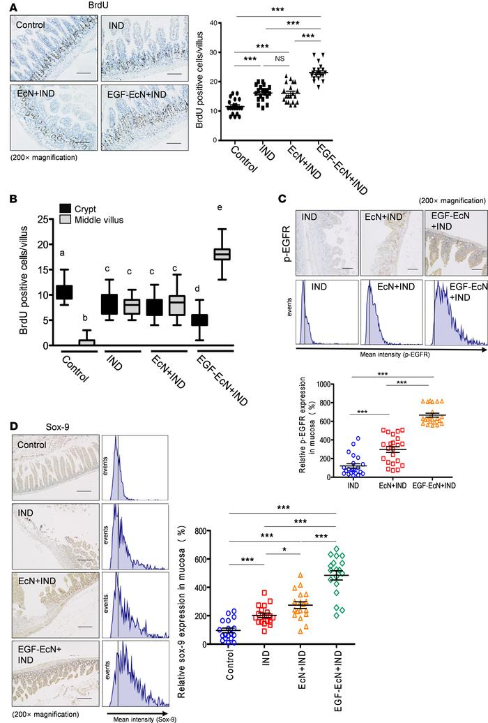 EGF-EcN–mediated actions in cell proliferation in NSAID-induced ulcer. T...