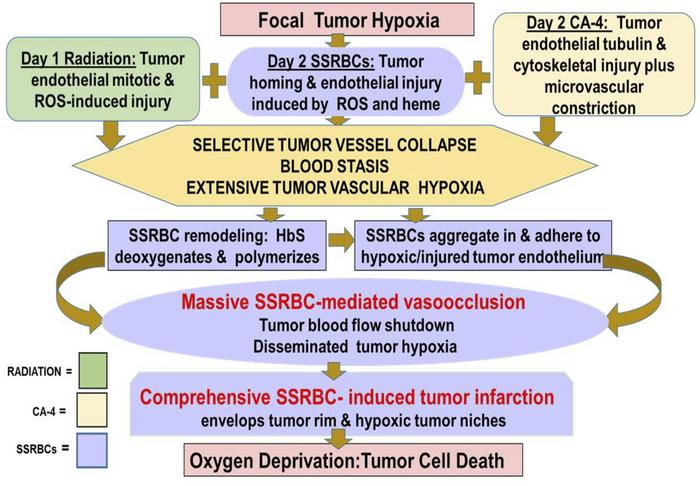 Chain of events leading to massive SSRBC-mediated tumor vaso-occlusion a...