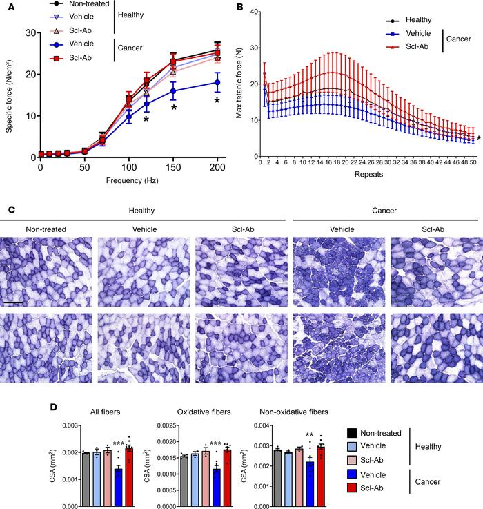 Inhibition of sclerostin prevents breast cancer–induced loss of muscle f...