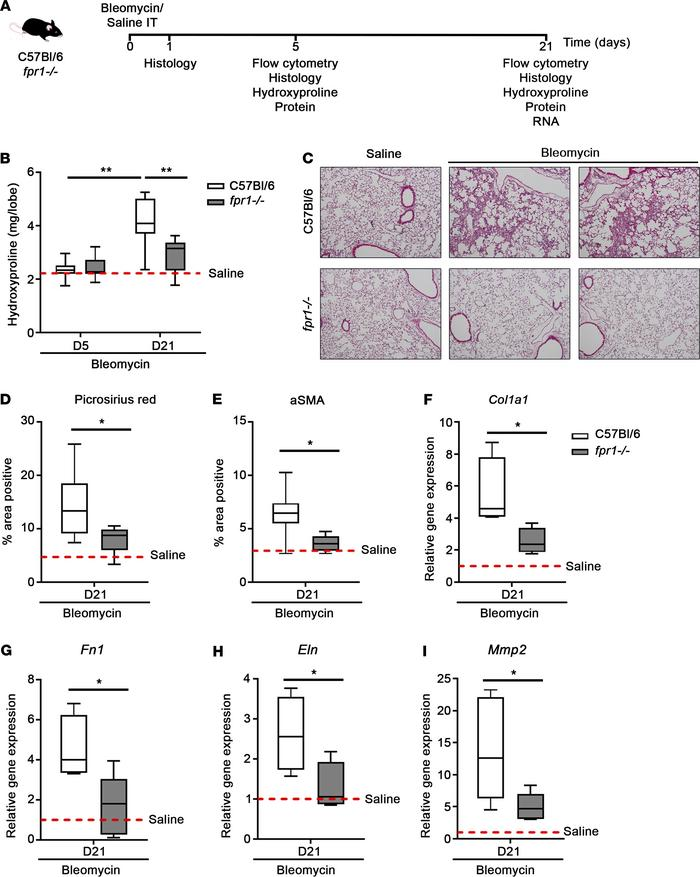 fpr1–/– mice are protected from bleomycin-induced lung fibrosis. (A) C5...