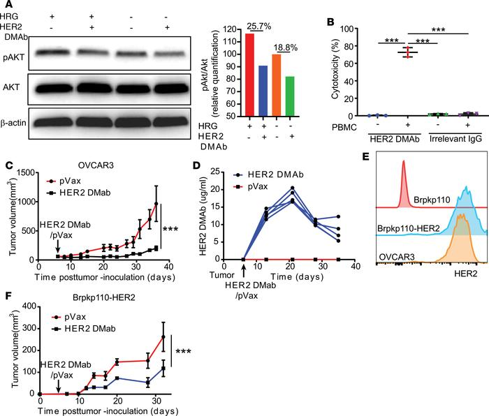 HER2dMAb blocks HER2 signaling, induces antibody-dependent cellular cyto...