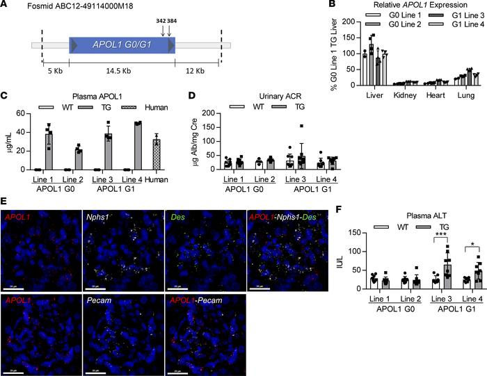 Genomic APOL1-transgenic mice express APOL1 in similar tissues as those ...