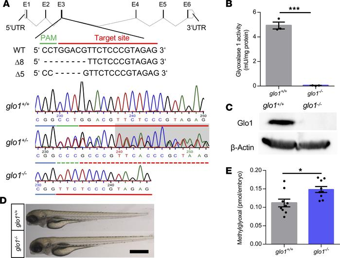 Generation of glo1–/– zebrafish using CRISPR-Cas9 technology. (A) Glo1-C...