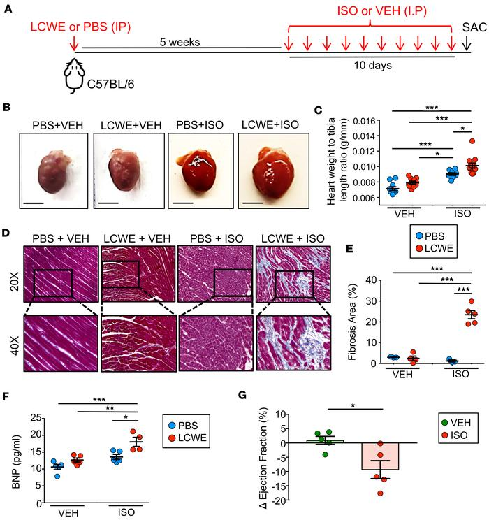 Pharmacologic stress induces myocardial fibrosis and myocardial dysfunct...
